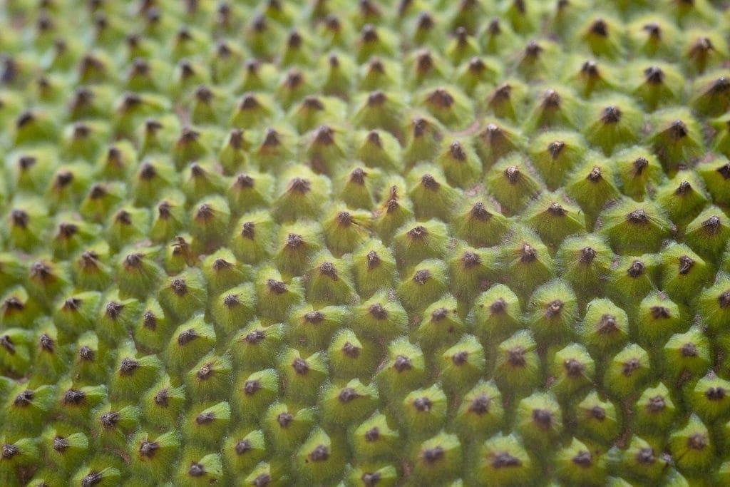 close up of army green jackfruit skin - little prickly bumps everywhere looks like cloves tightly packed and stuck into a ham