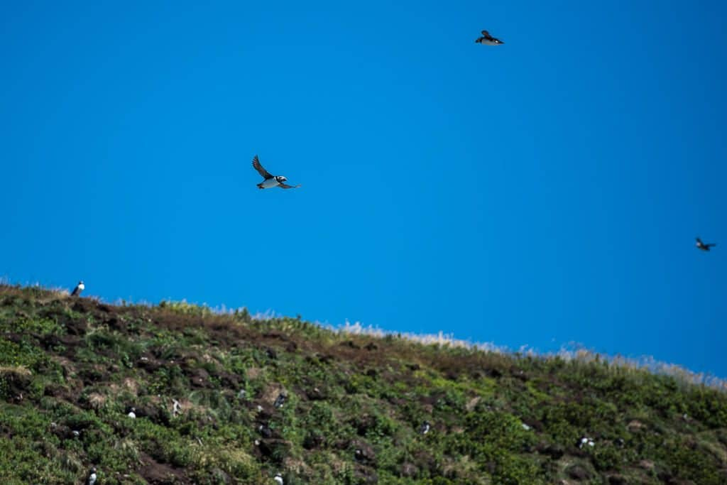 3 Puffin's flying through the air new the cliff ledge where they are nesting in Newfoundland