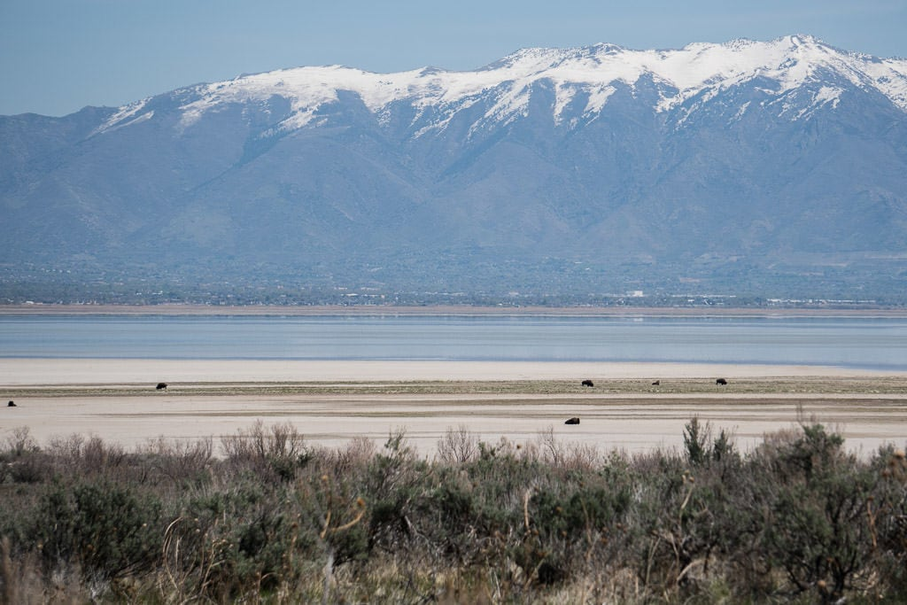 Bison on a salt flat with snow-topped mountains in the background while driving around Antelope Island State Park
