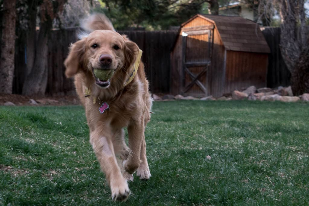 golden retriever with ball that we pet sat through trustedhouseitters