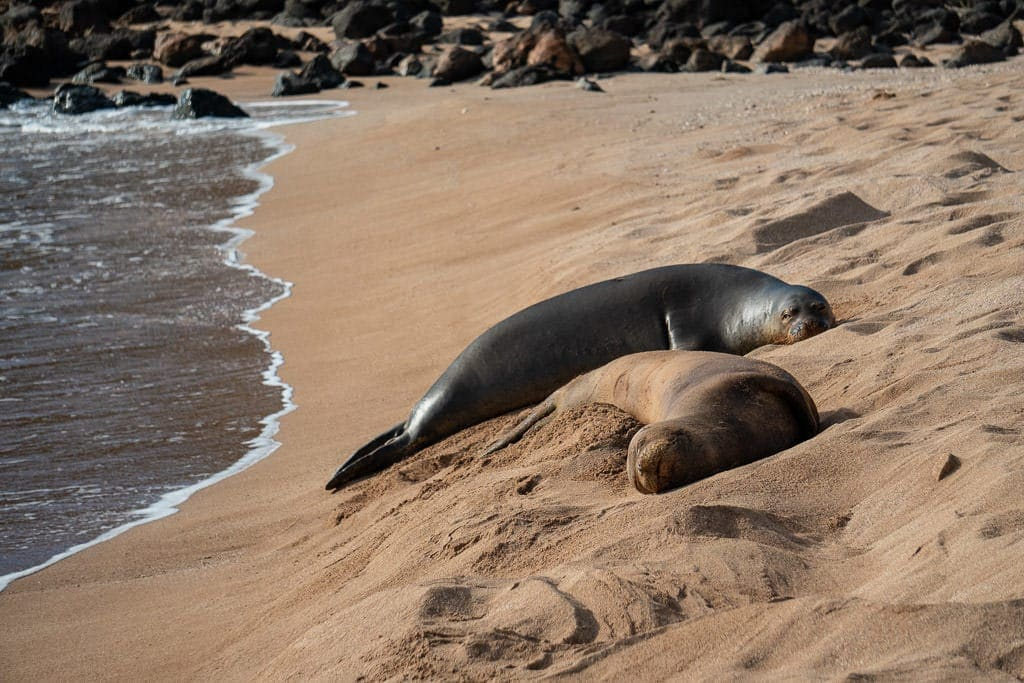 monk seals on molokai hawaii beach