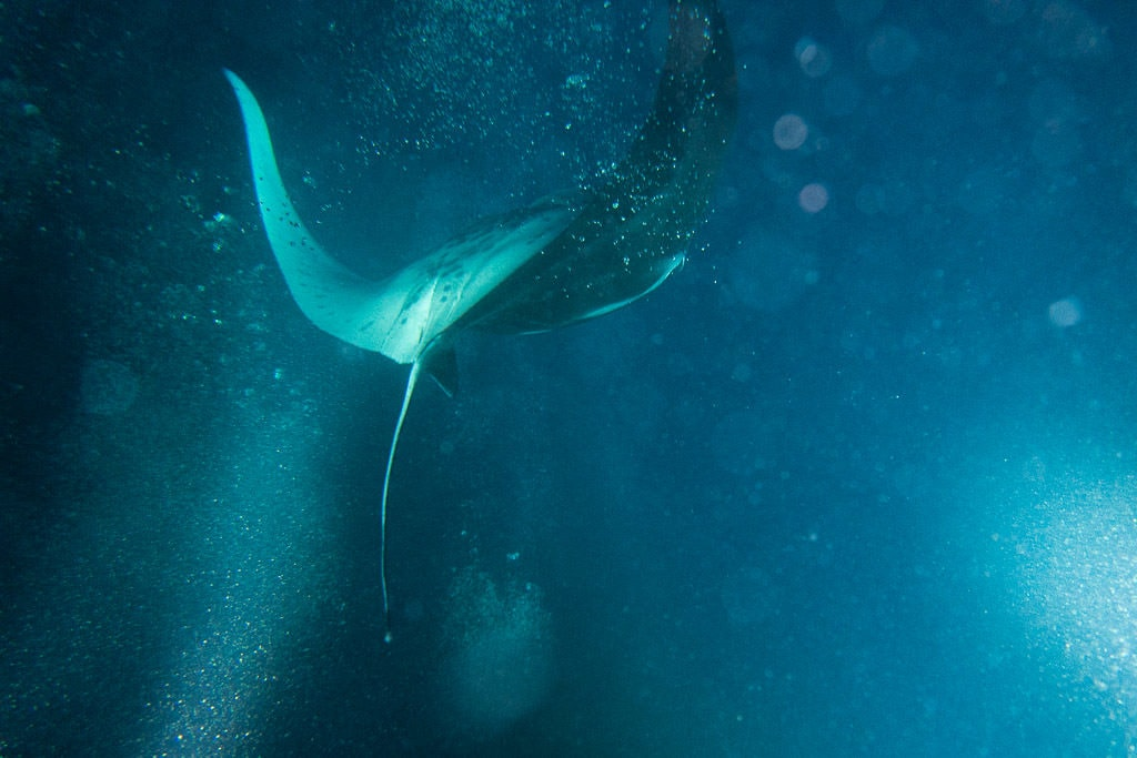 Kona Manta Ray diving back underwater after swooping near the snorkelers to grab some plankton