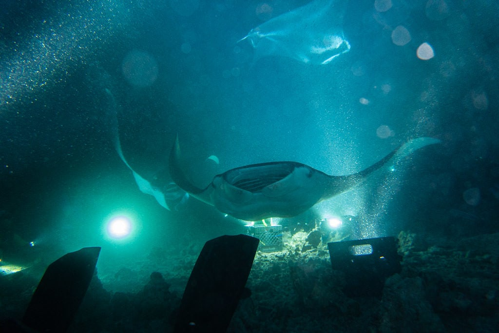 3 Different Manta Ray swimming over and around the campfire during my manta ray night dive