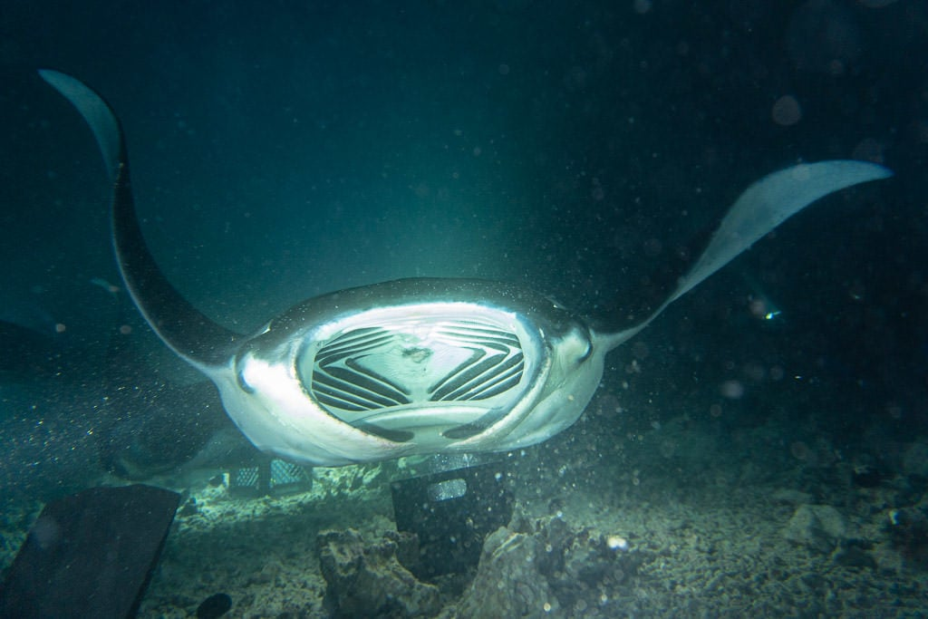Manta Ray with its mouth wide open swimming over the campfire directly towards Buddy