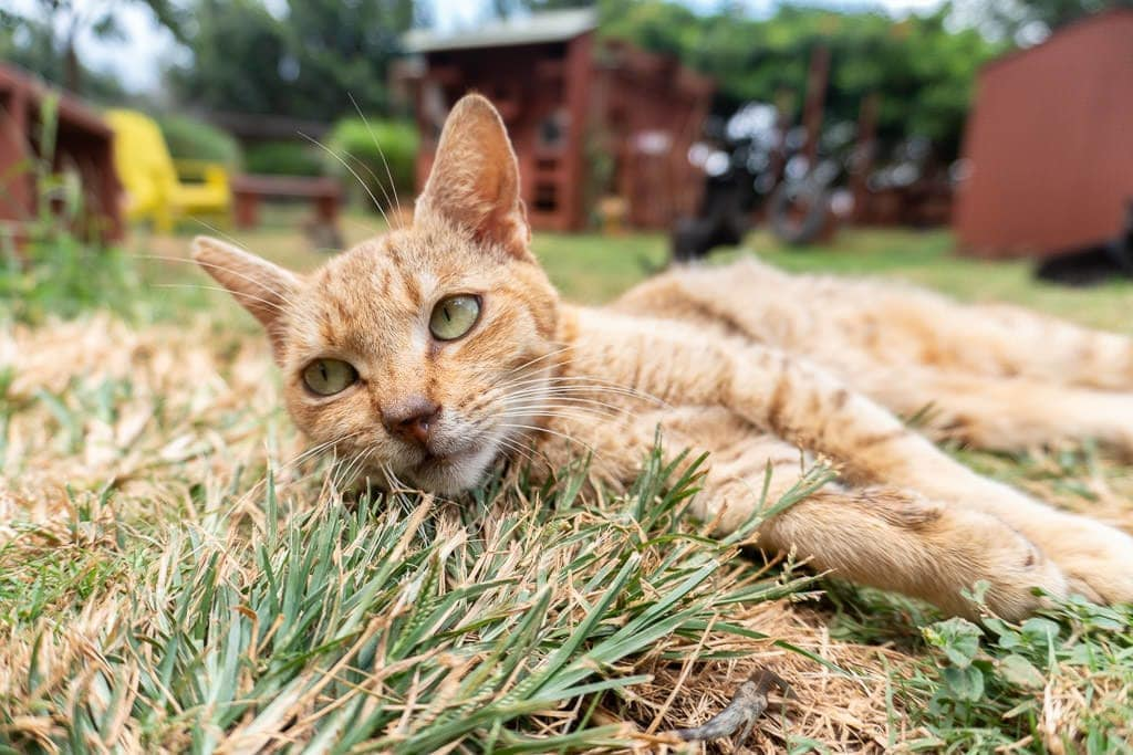 ginger cat at lanai cat sanctuary