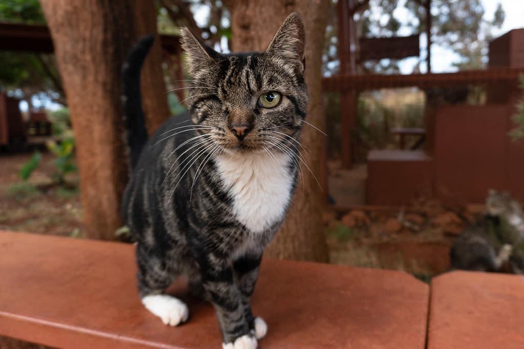 one-eyed cat at lanai cat sanctuary