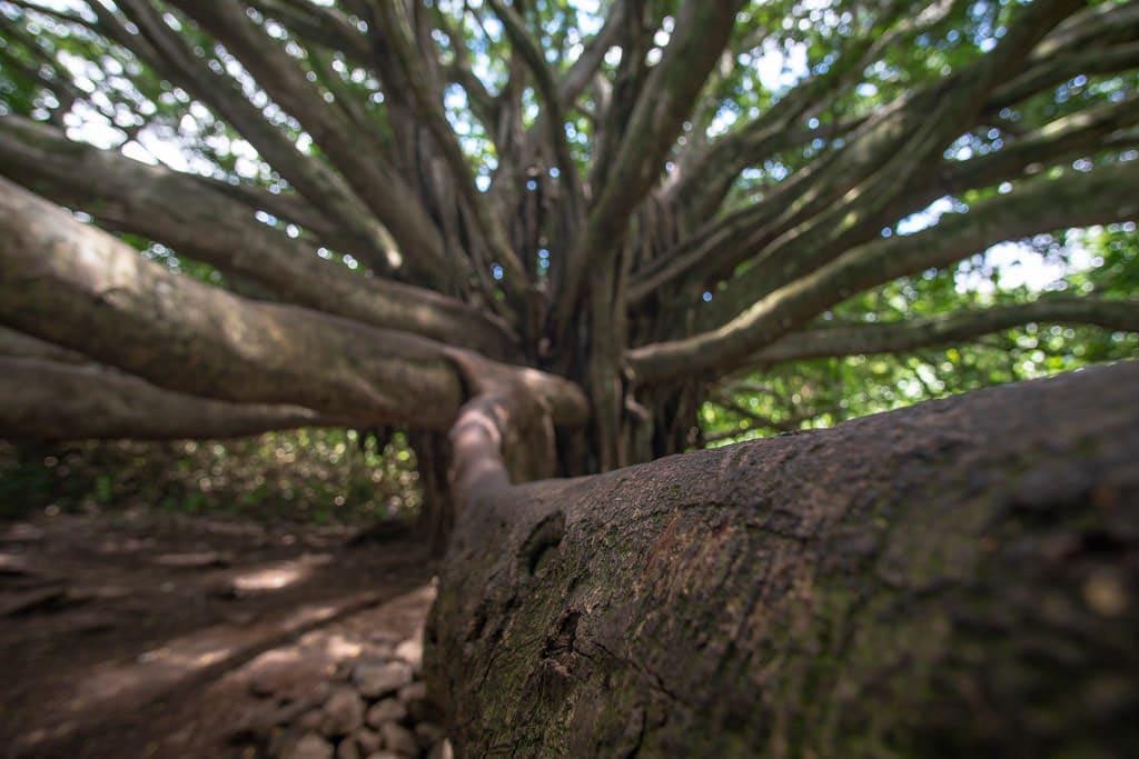 Branch of a big banyon tree on the Pipiwai trail