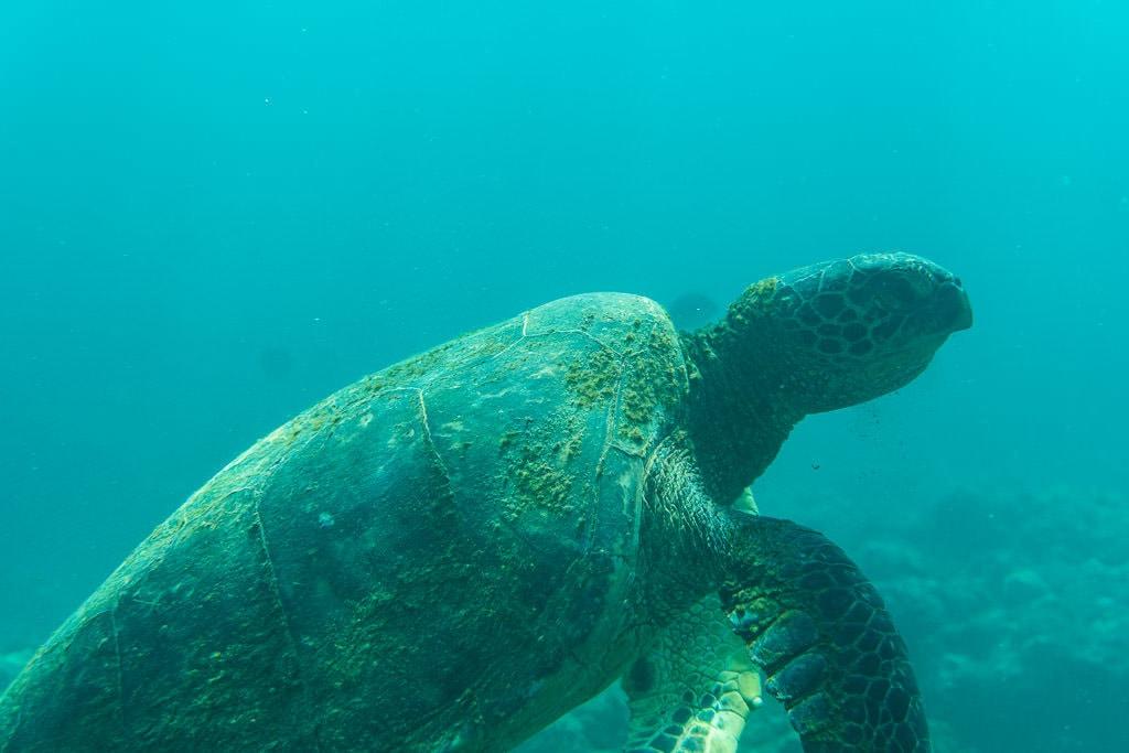 hawaiian green sea turtle off na pali coast