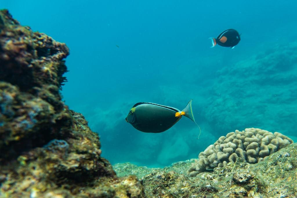 reef fish off oahu's north shore