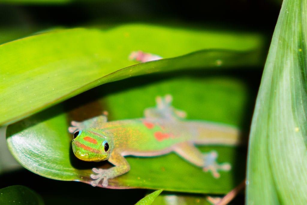 gecko at Lyon Arboretum