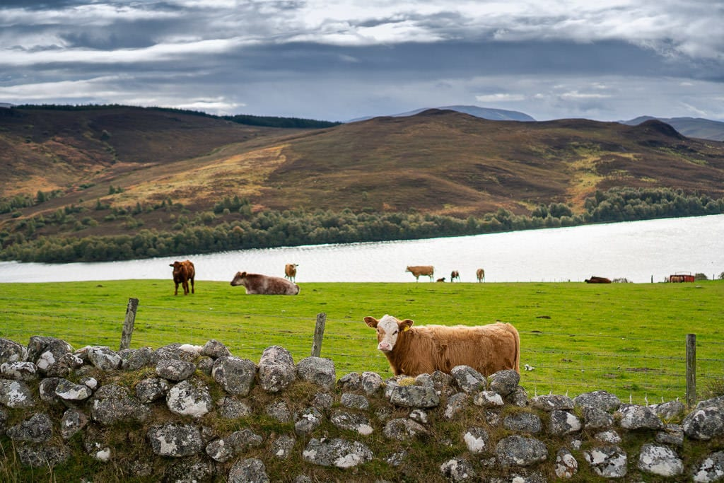 cows in scottish highlands near loch ness in inverness, scotland