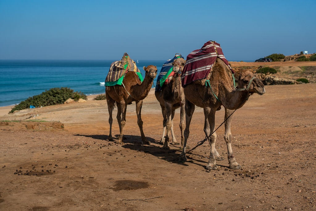 camels near strait of gibraltar in tangier on day trip to Morocco