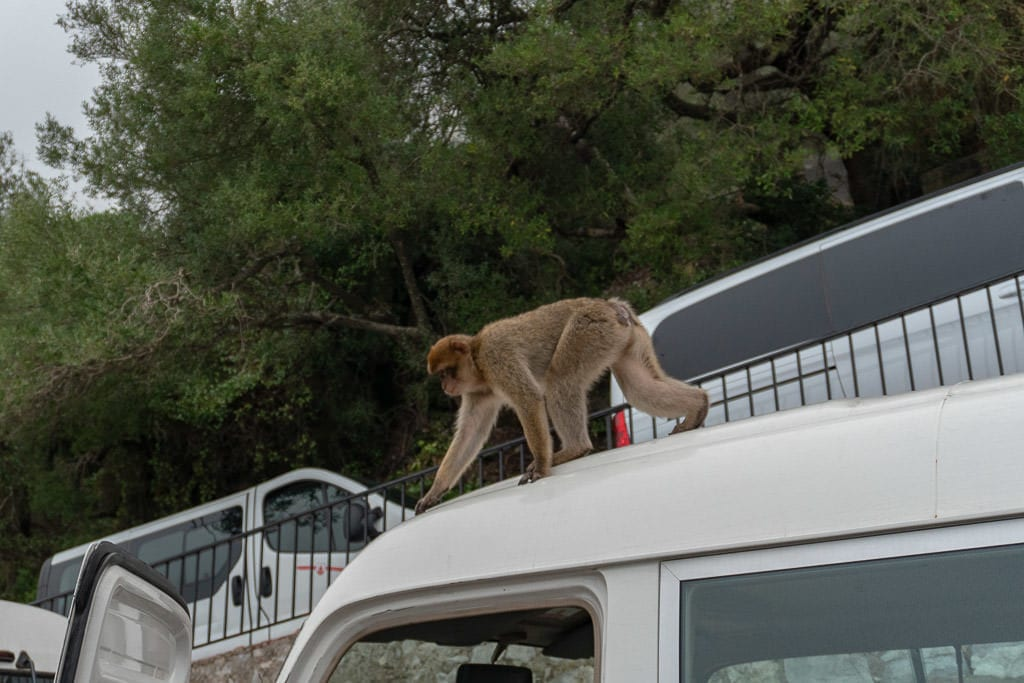 Gibraltar monkey on top of a tour van