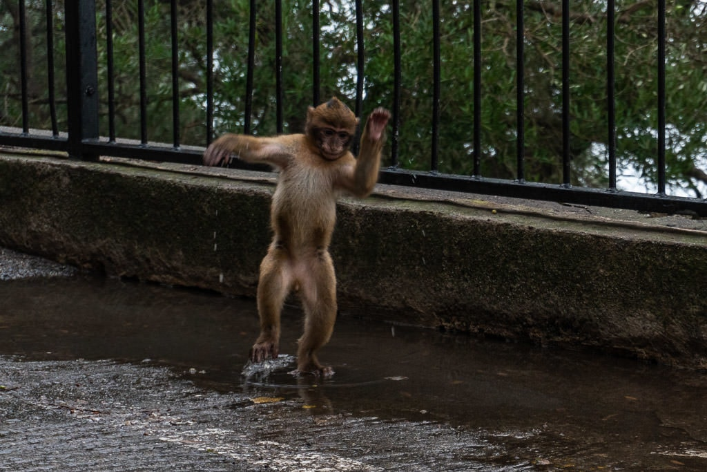 baby Barbary Macaques monkey playing in a puddle in gibraltar