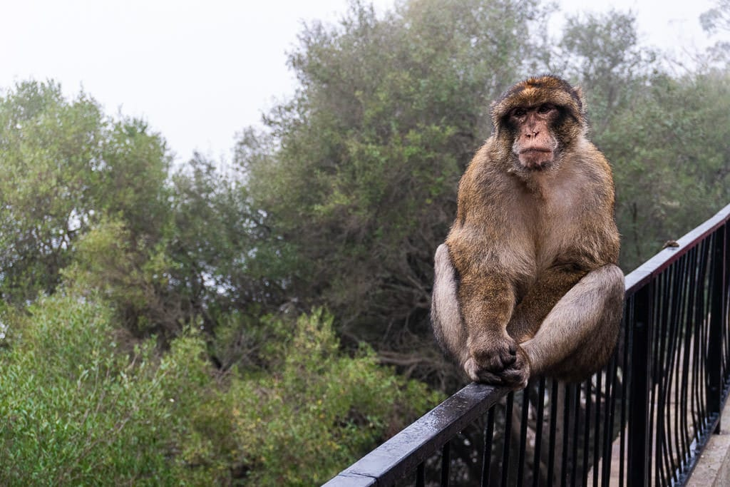 Barbary Macaques monkey in gibraltar on railing