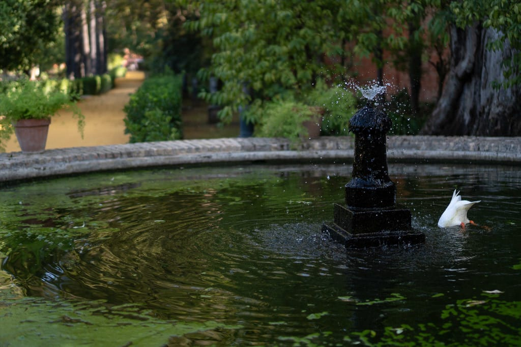 duck in pond at ornate park at the real alcazar in sevilla spain