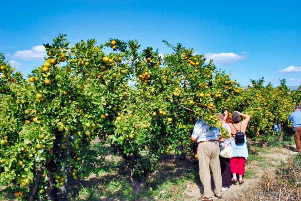 Mandarinenernte in Kroatien 42