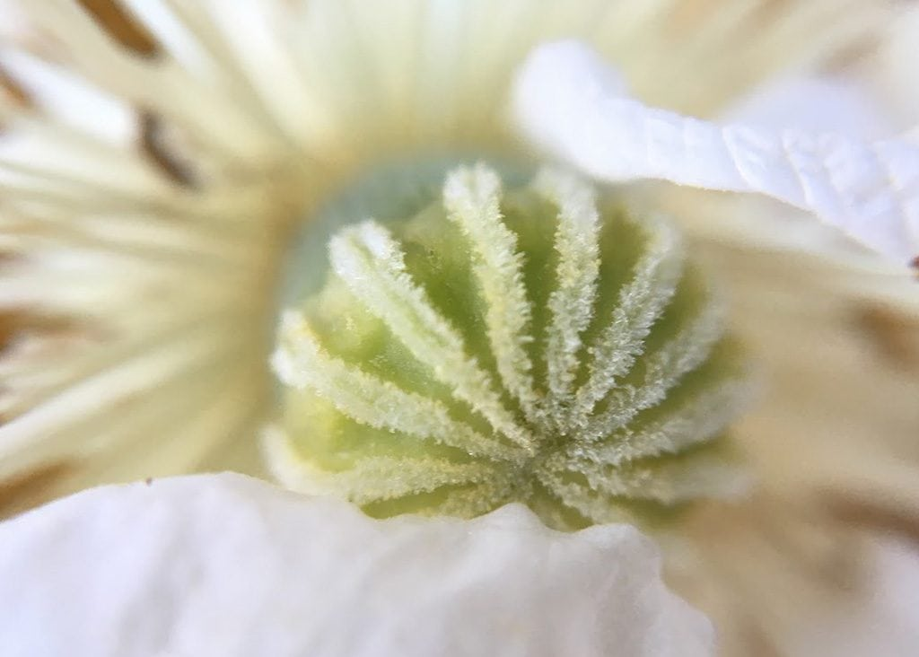 white poppy closeup