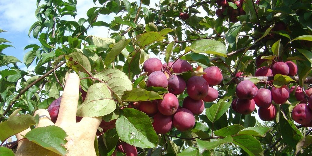 hand picking apples from tree