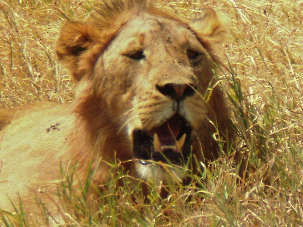 Close up of lion sitting in dry grass