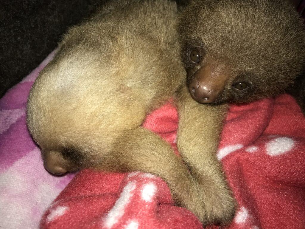 Two finger baby sloths rescued by NATUWA