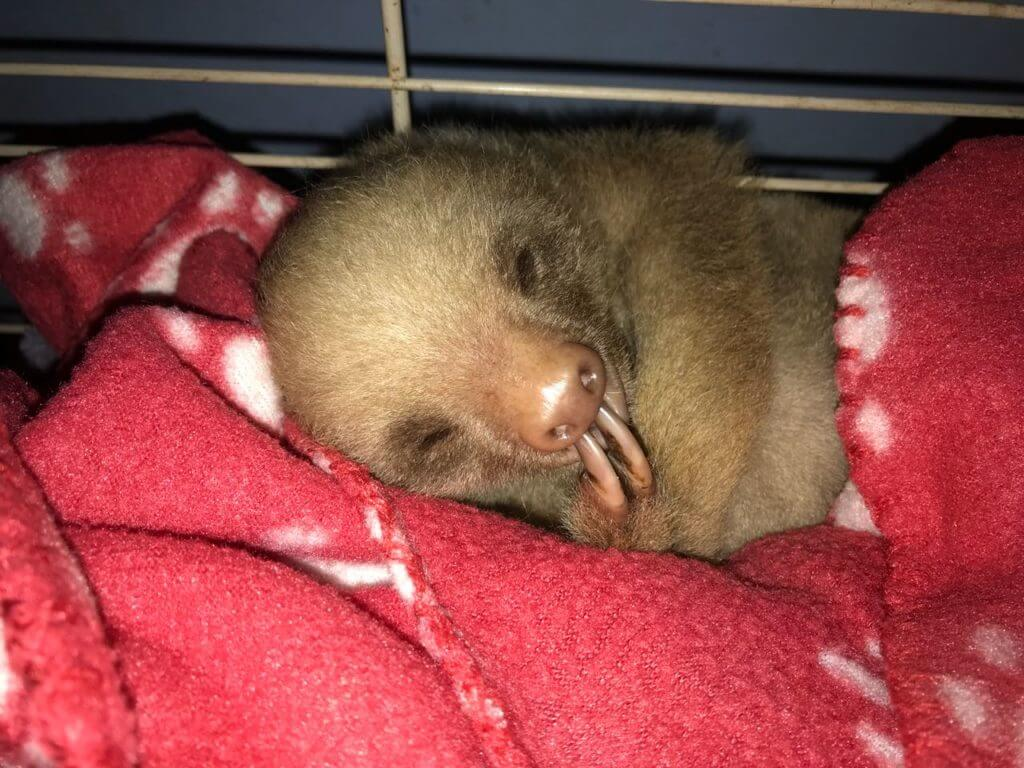Baby Sloth rehabilitation by NATUWA Sanctuary Costa Rica