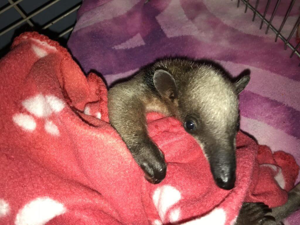 Oso hormiguero bebe rescatado por NATUWA