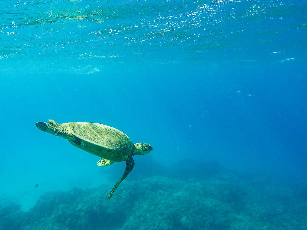 Hawaiian Green Sea Turtle spotted while snorkeling in molokai