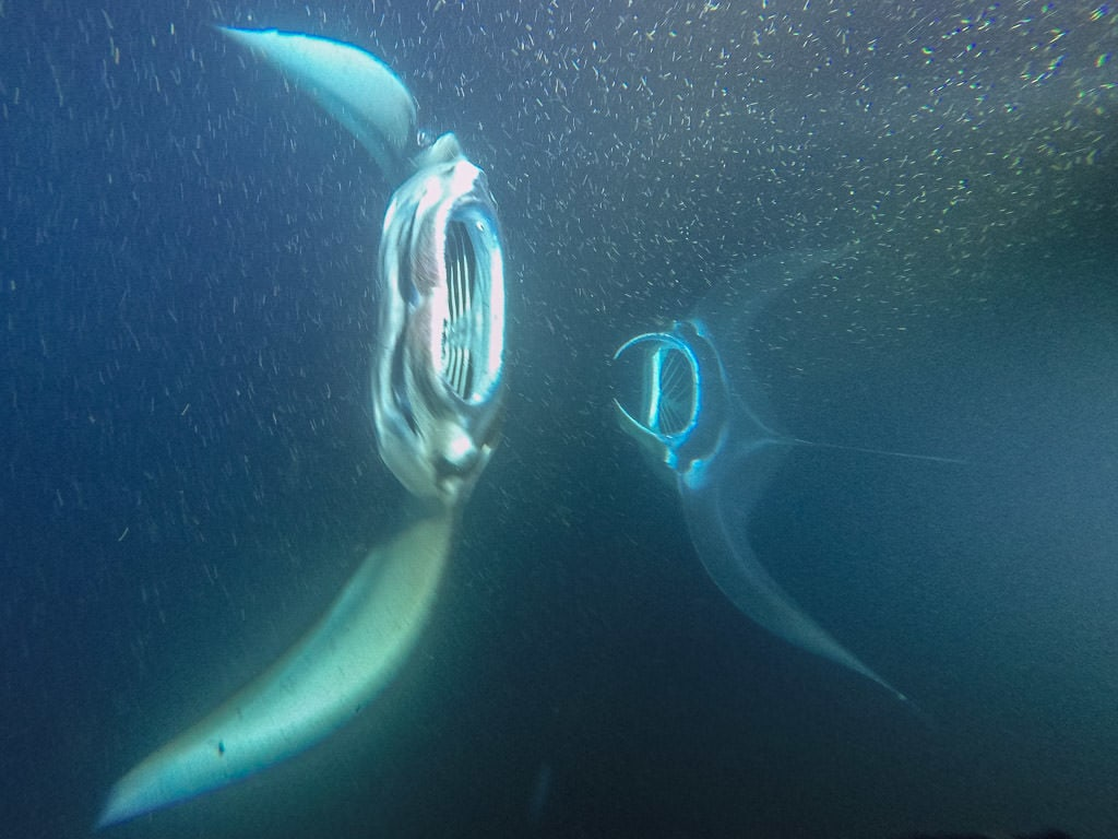 Two manta rays swimming up from the depths of the dark water towards the snorklers during the tour