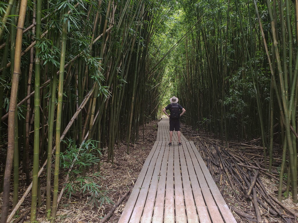 Buddy standing in the middle of the trail surrounded by the massive bamboo forest that is towering over him