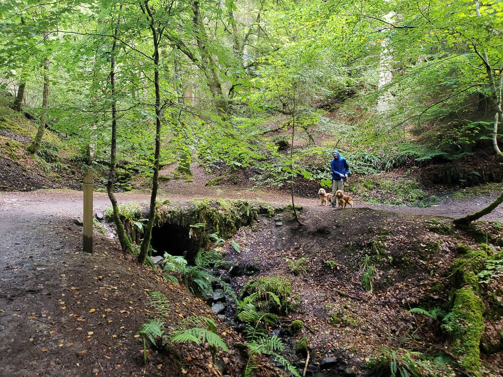 Buddy walking the dogs at Reelig Glen near Inverness Scotland