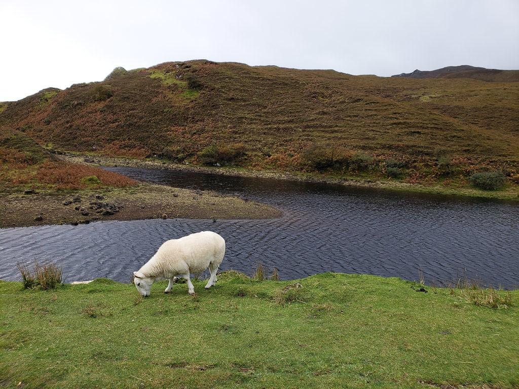 Sheep grazing near a lake in the Isle of Skye