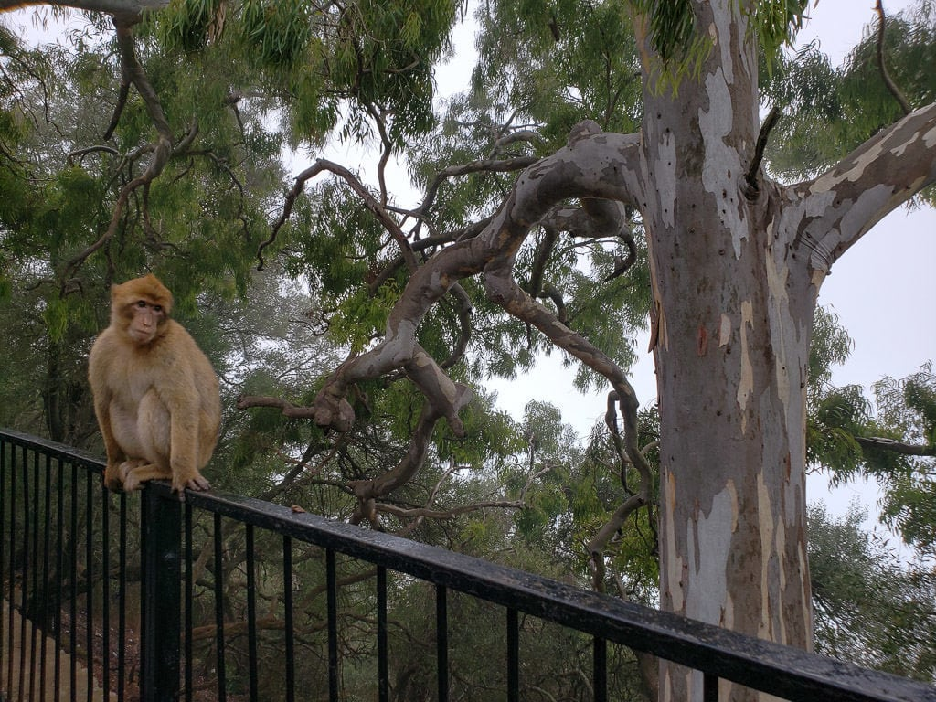 Barbary Macaques monkey in gibraltar on railing next to trees