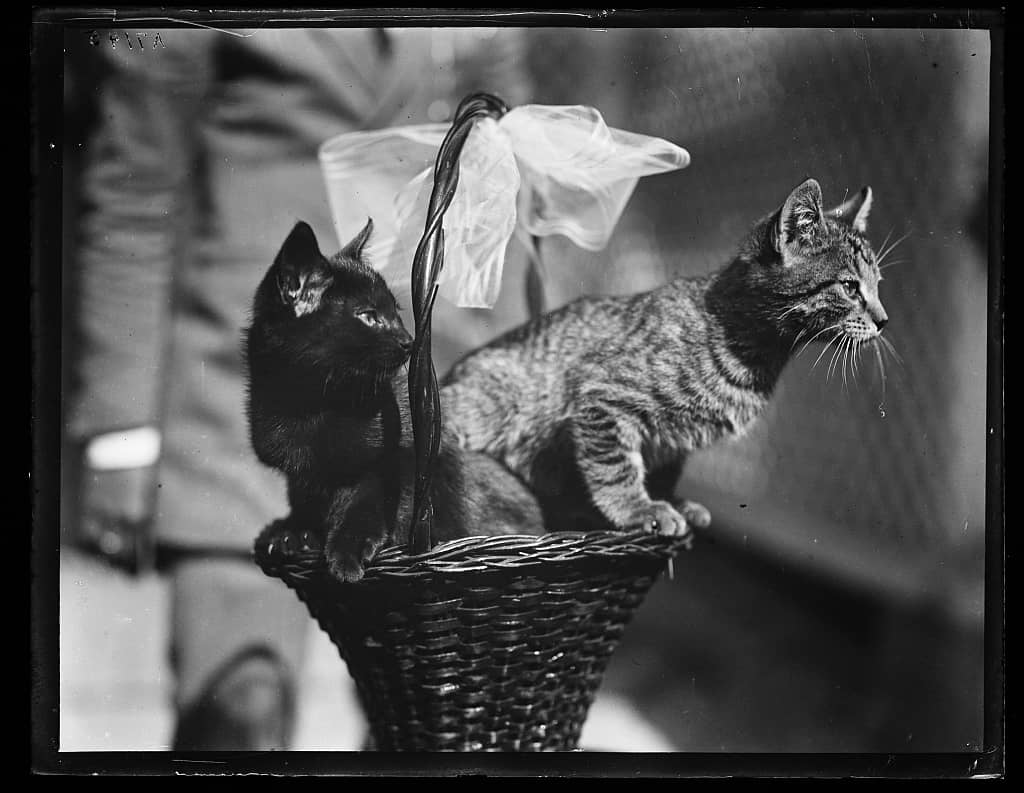 Blackie and Tiger, two of the cats owned by President Calvin Coolidge.  Photo: Library of Congress, 1923.