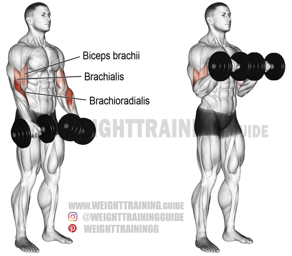 Dumbbell Reverse Curl- Easy Exercises For Forearm