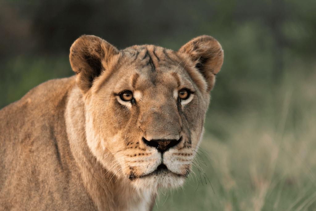 Löwin fotografiert von Sebastian Hilpert