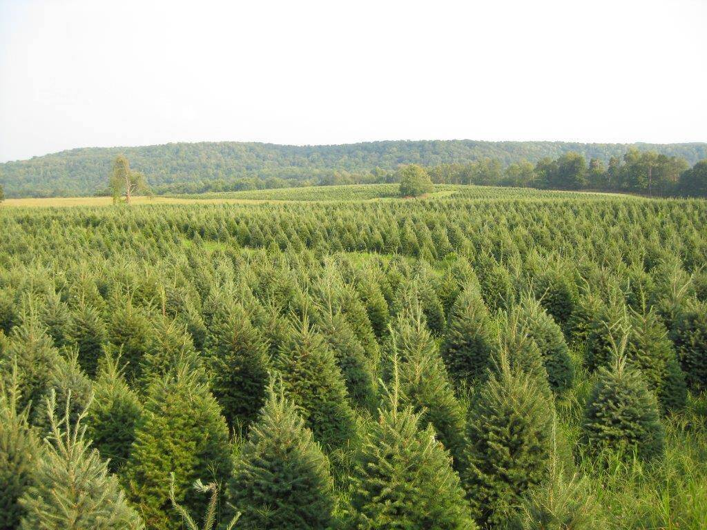 Christmas Tree Farm Syracuse