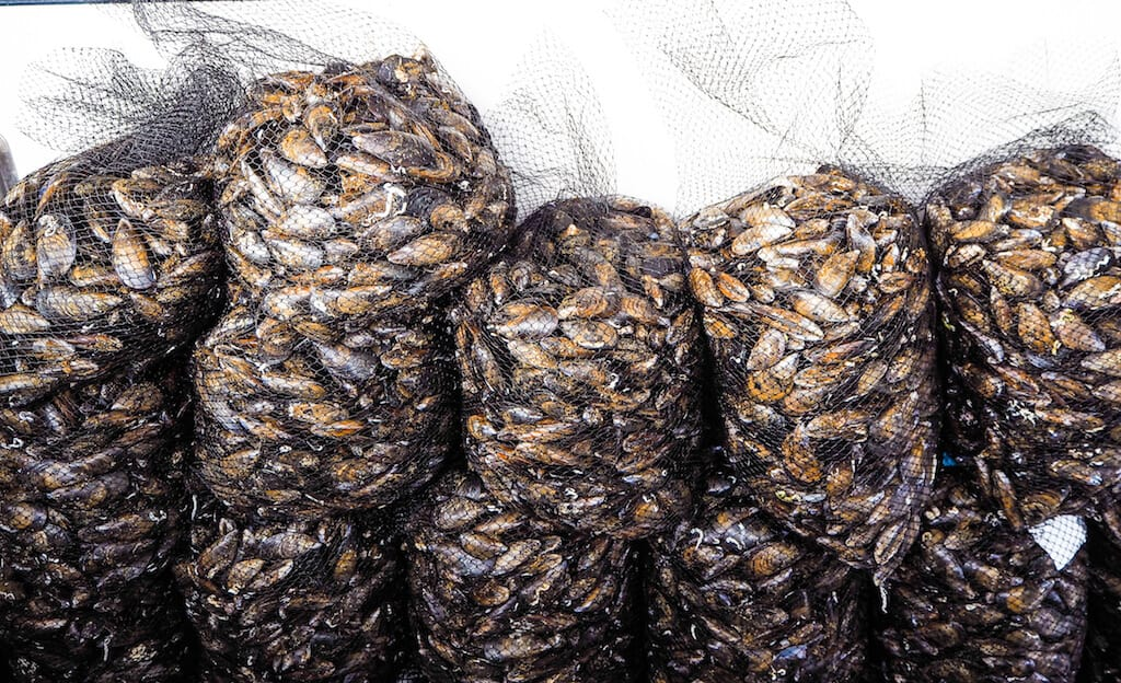 Local mussels in Galicia