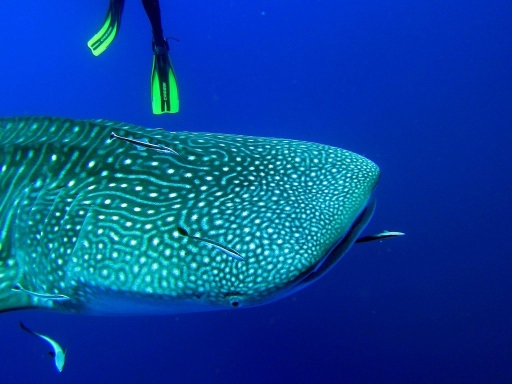 Whaleshark Tour - Dhiggiri Island Resort - Maldives