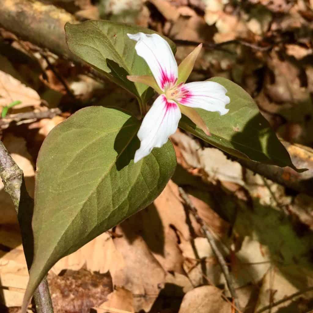 wildflower sizerville state park