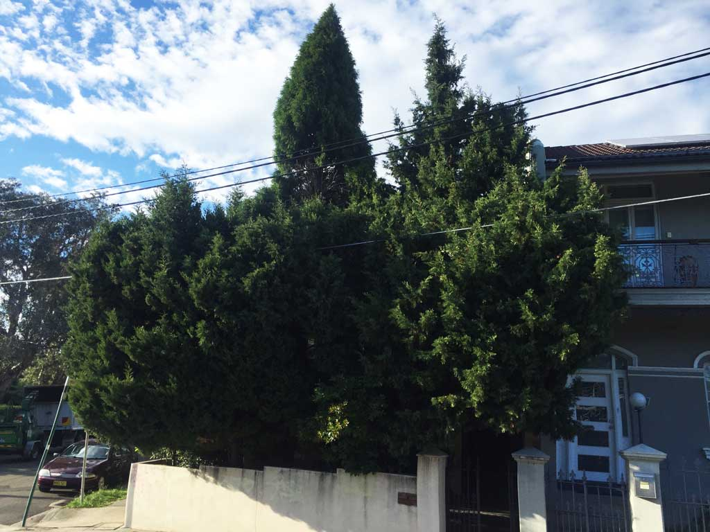 Pine Removal in Petersham - Before Photo