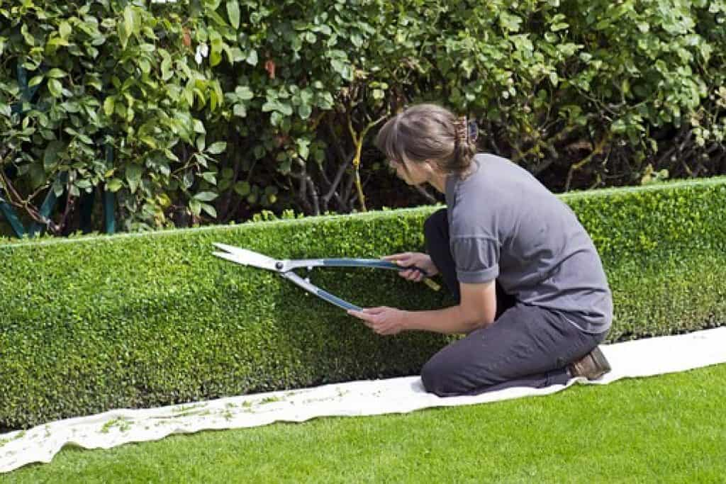 how to look after box pland and box hedges