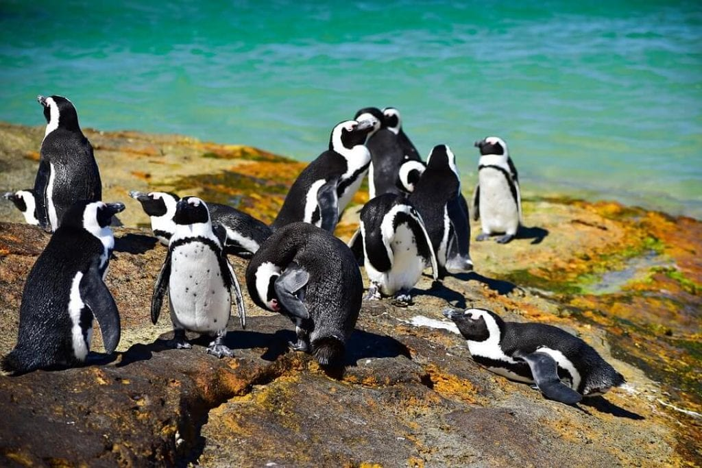 african-penguins-dyer-island