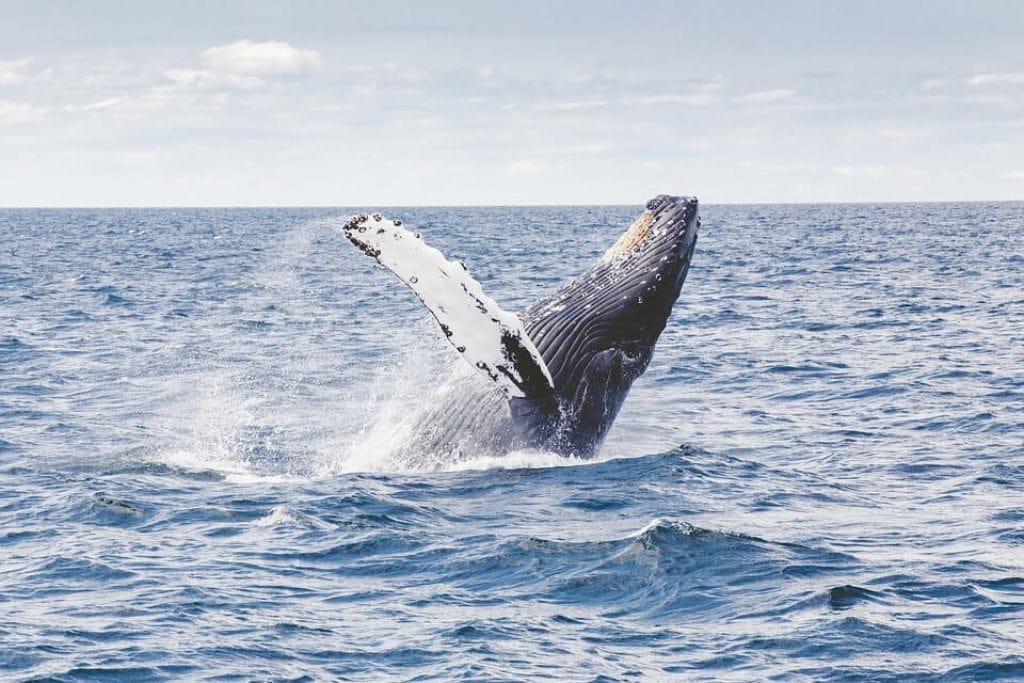 humpback-whale-breaching