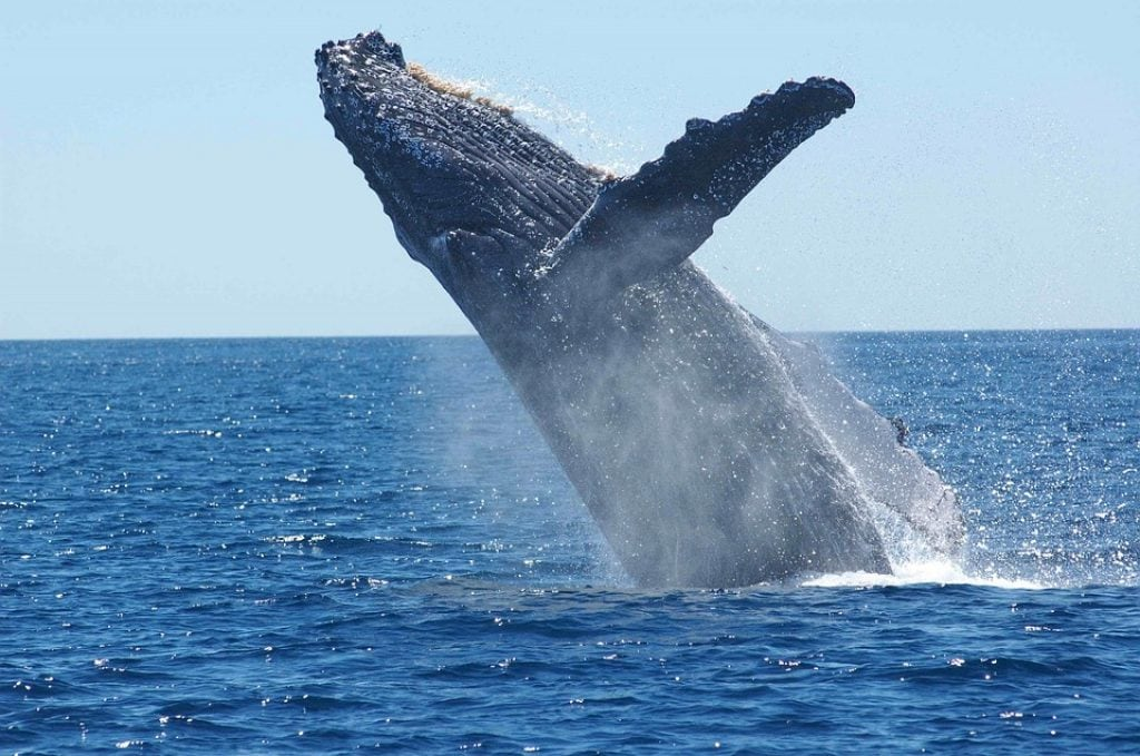 humpback-whale-breaching-above-water