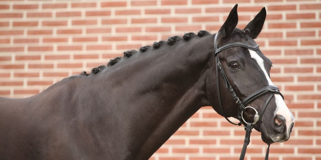 black dutch warmblood horse