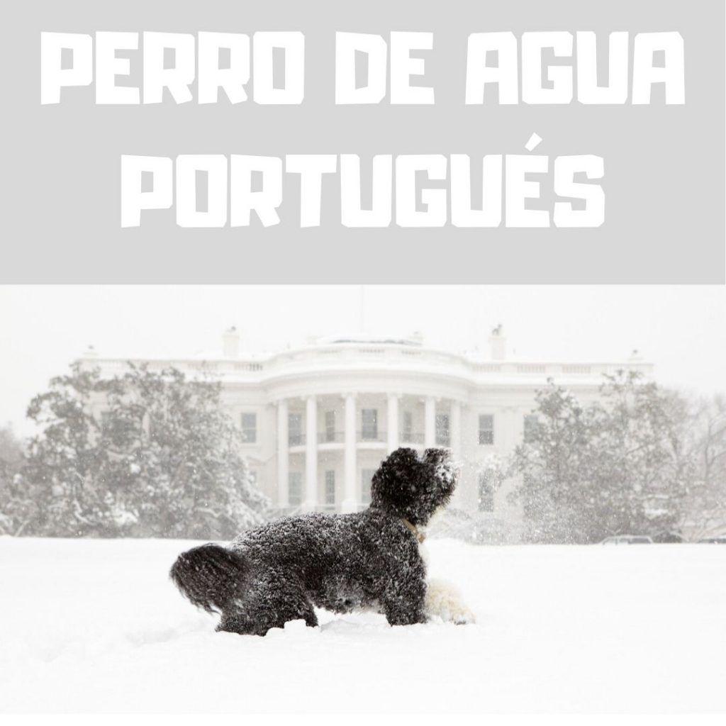 Razas de perros medianos: Perro de aguas portugués