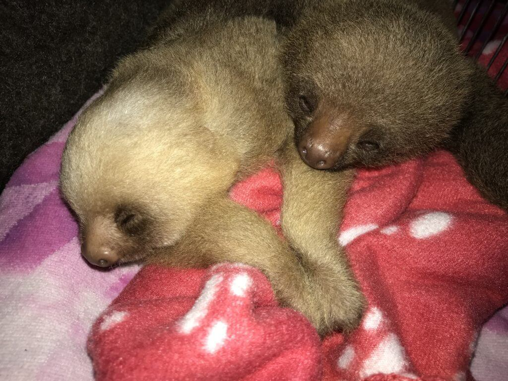 Baby sloth rescued by NATUWA Sanctuary