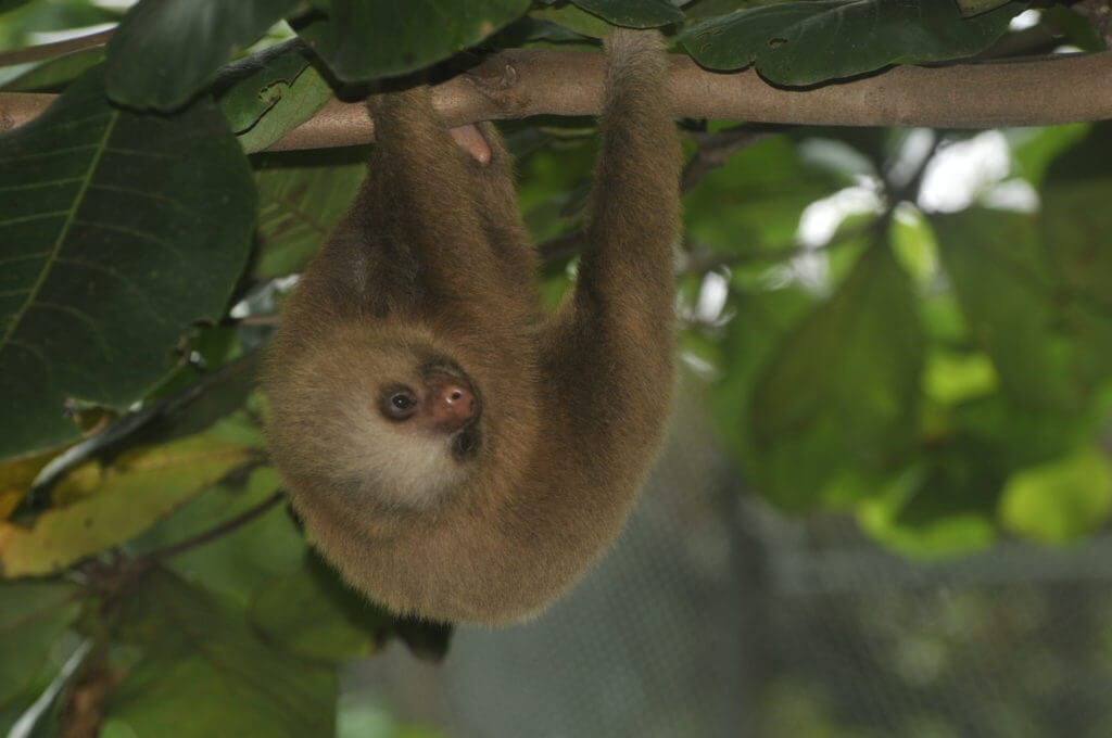 Tow finger sloth rescued by NATUWA