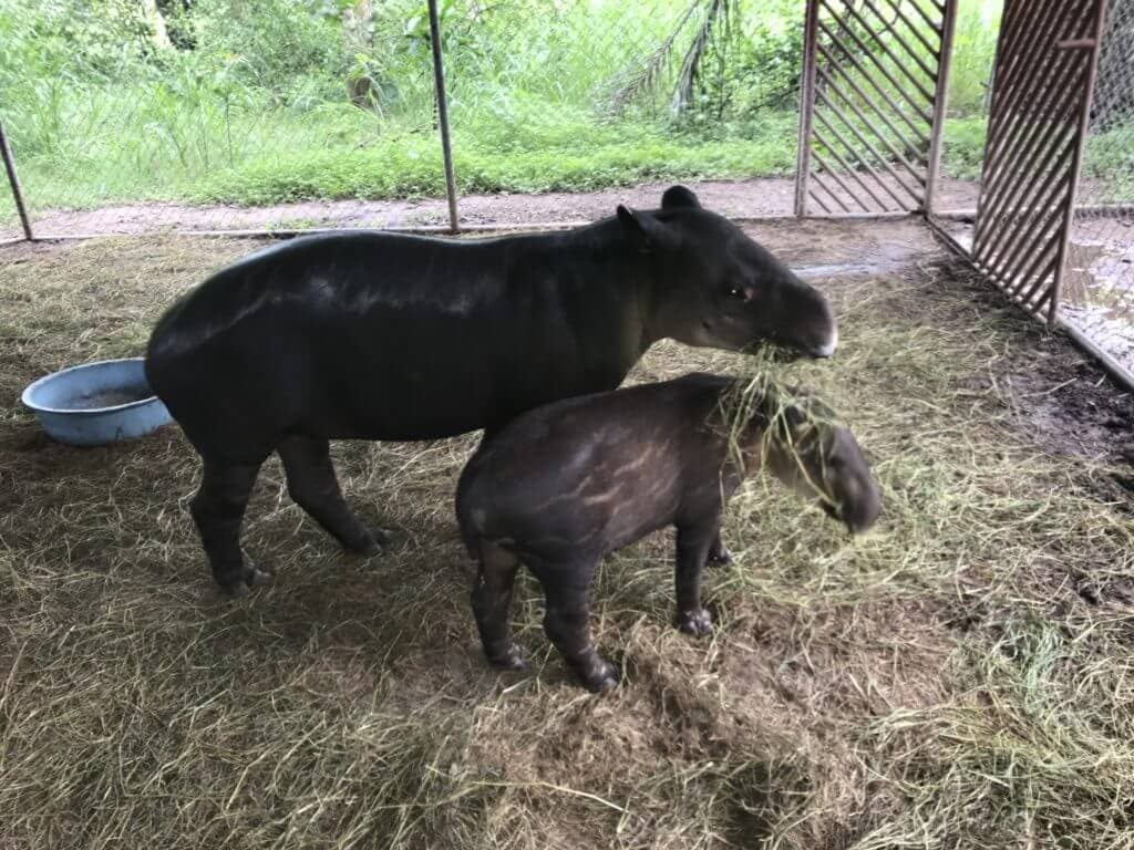 Animal rescue, Mandy the rescued tapir and her son